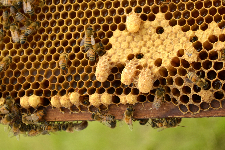 Queen Swarm Cells « Mountain Empire Beekeepers Association